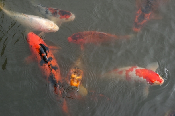 Koi fish Carp Seattle Japanese Garden