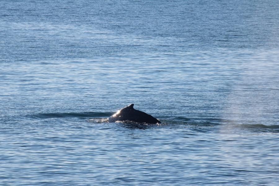 Humpback Whale San Juan Islands WA